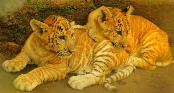 C-Section birth of the liger cubs is just a rumor.