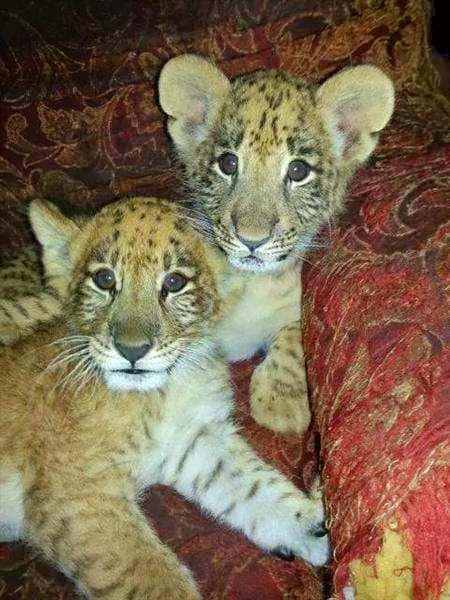 C-Section birth of the liger cubs is a propaganda.