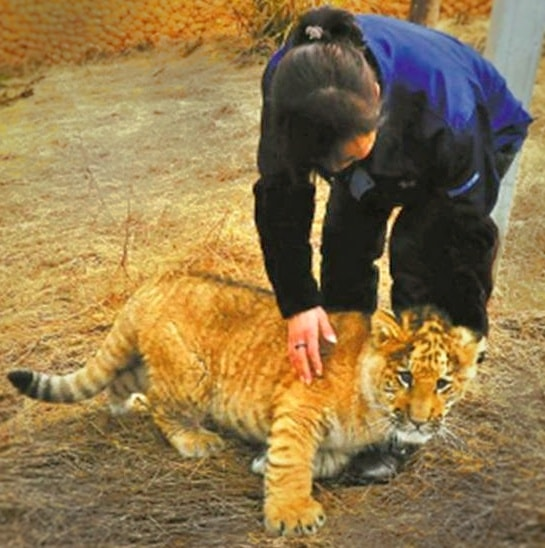 C-Section rumors about liger cubs are spread by Animal Rights Activists.