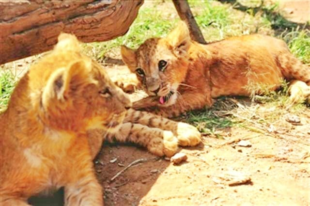 Liger cubs born in Taiwan didn't born through c-section.