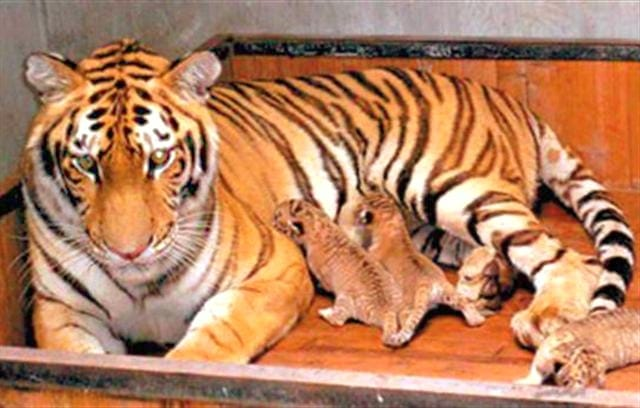 Liger Cubs do not undergo any C-Section at the time of their birth.