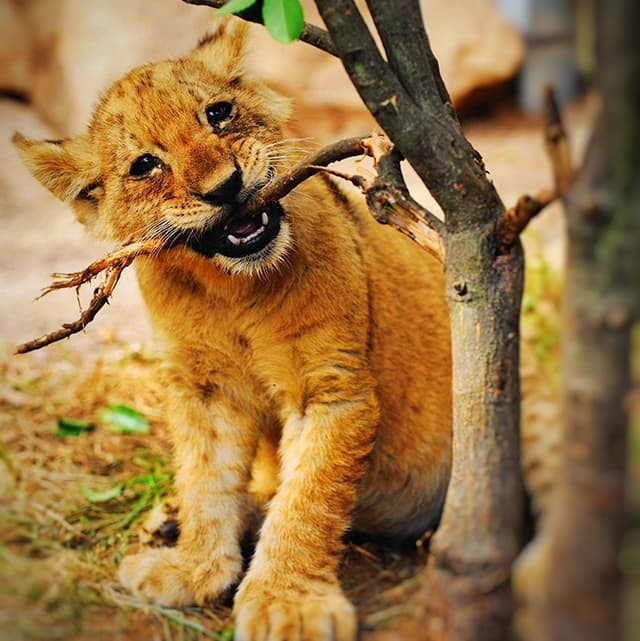 Liger cubs are genetically very healthy.