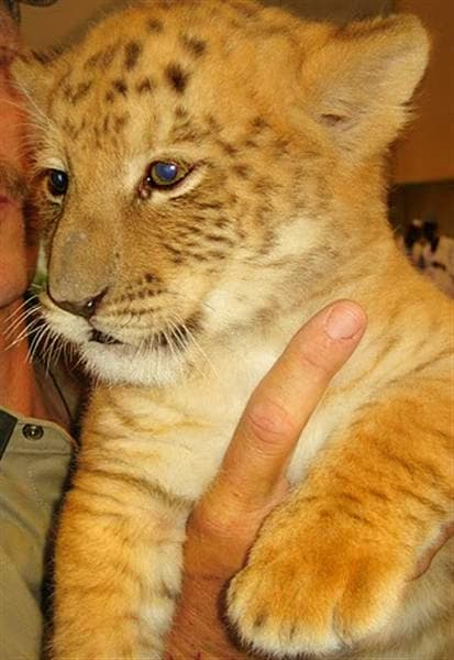 All the health related issues about liger cubs are just mere myths.