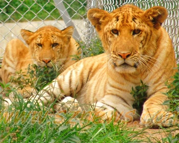 Liger cubs have a very healthy growth rate.