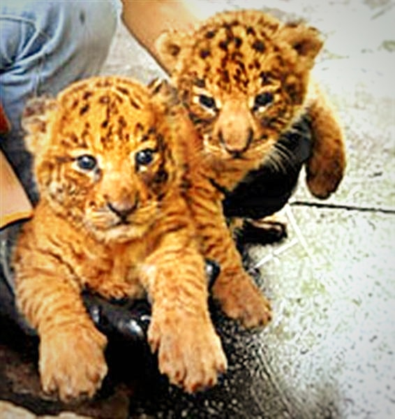 Liger cubs are perfectly healthy and they are free of any diseases at the time of birth.