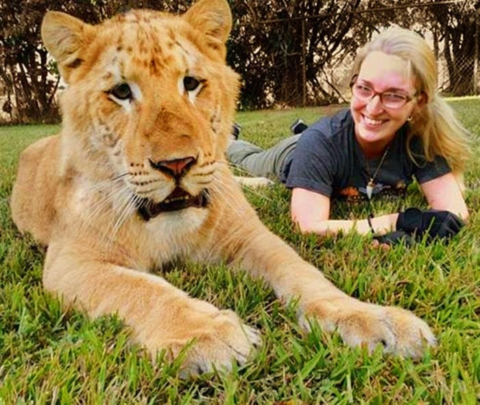 The survival rate of the liger cubs is also very high.