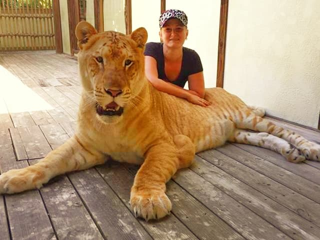 Liger cub with China York