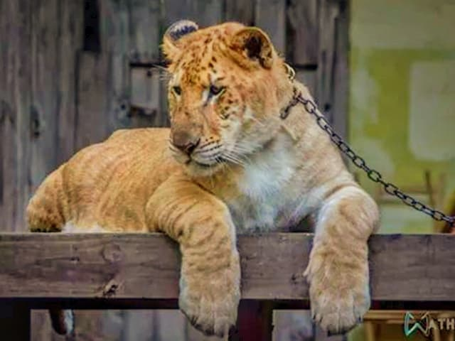 Liger cubs have a faster growth rate than the growth rate of the other big cats.