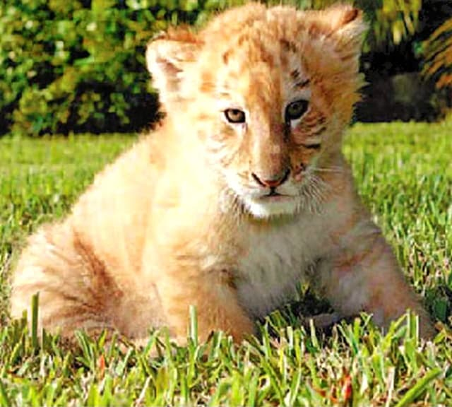 A liger cub is a hybrid offspring of a male lion and a tigress.