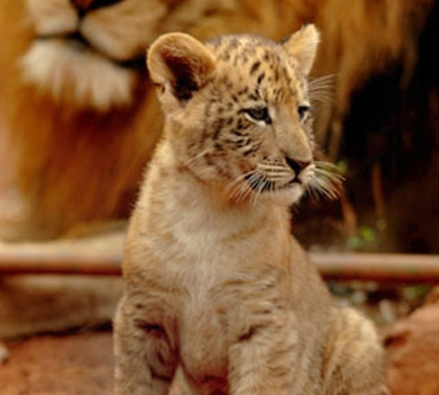 The births of the liger cubs and the record recognized Chinese ligers at global level.