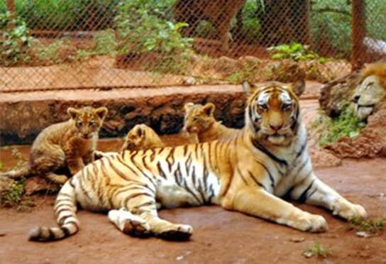 A tigress in China gave to record numbers of liger cubs births.