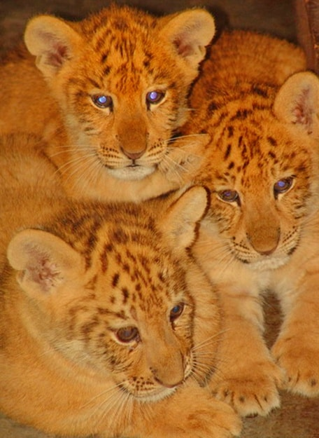 High survival rate of the liger cubs in China.