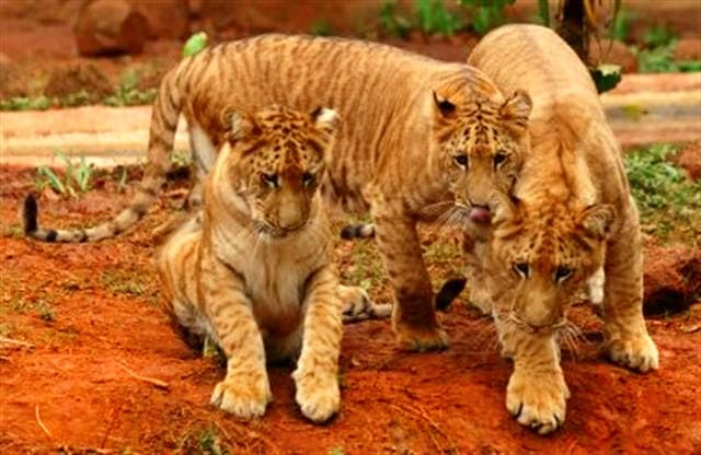 A litter of liger cubs in China.