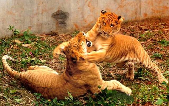 The record births of the liger cubs in China created a huge news buzz within media.