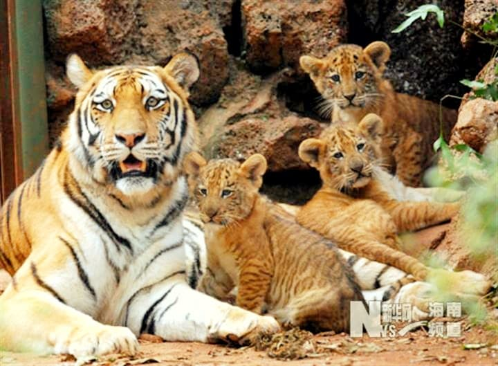 The name of the tigress which gave birth to the liger cubs was Huan Huan the Tigress.