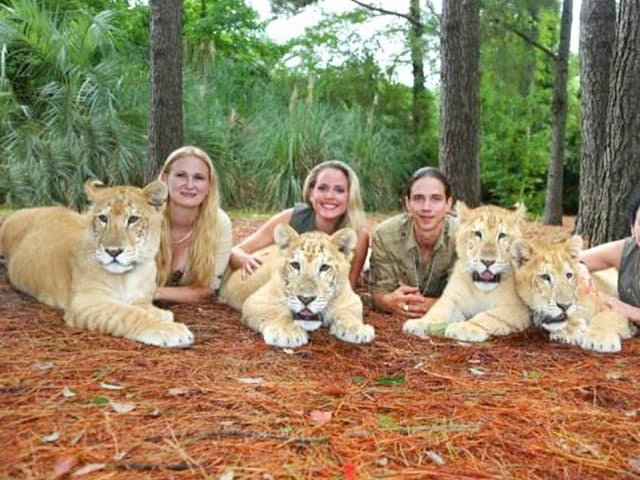 China York with white liger cubs at Myrtle Beach Safari.