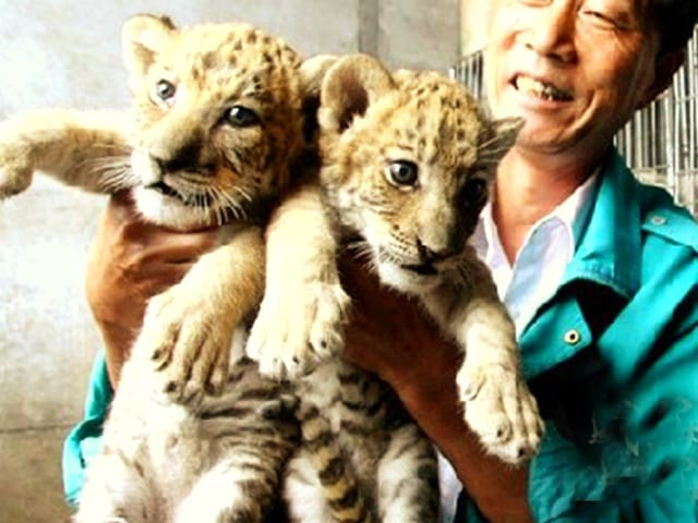There are no restrictions for breeding liger cubs in China.