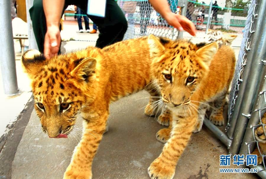 Liger Cubs in Chinese Zoos.