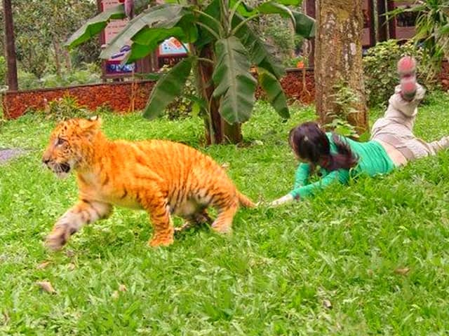 Good health facilities for the liger cubs in China.