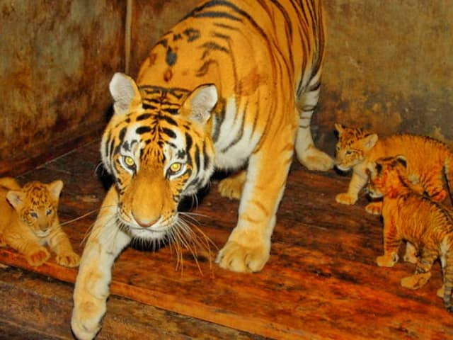 World Record of Liger Cubs in China at Hainan Tropical Wildlife Park.