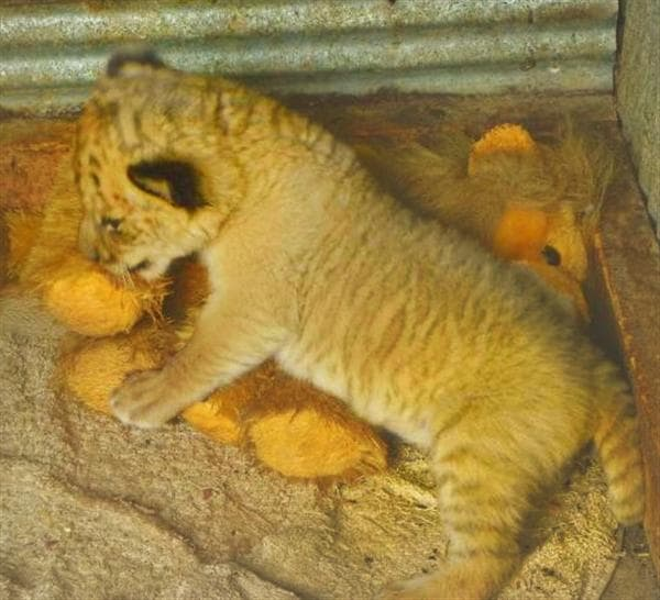 Liger Cubs have the fastest growth rate than any other big cat.
