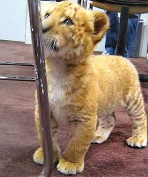 Liger cubs grow at the rate of one pound of weight per day on average.