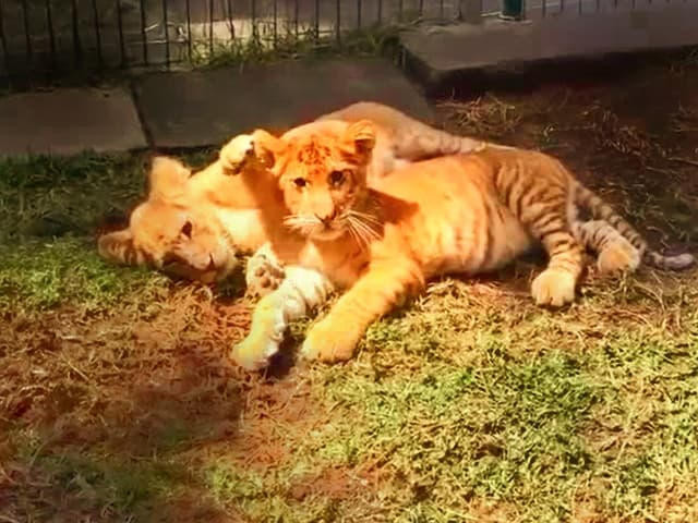 Liger cubs at Mytle Beach Safari during 1990s.