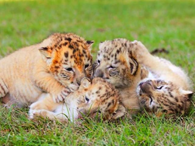 White Liger cubs at Myrtle Beach Safari, South Carolina, USA.