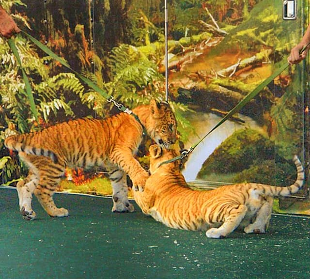 First liger cubs in Russia were born in 2004.
