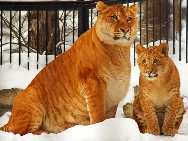 First Liliger cub were born in 2012, at Russia's Novosibirsk Zoo