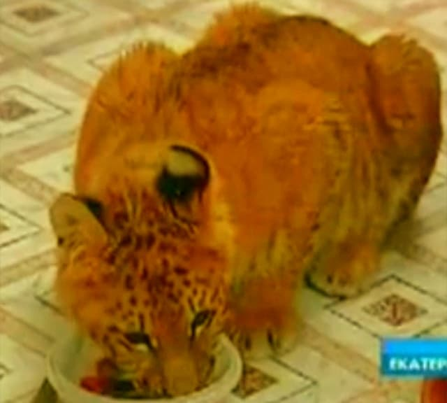 Liger cub at roaming across flats in Russia.