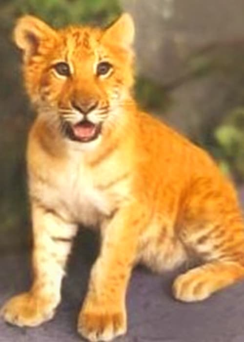 Liger cub Zita is the first ever liger in Russia.