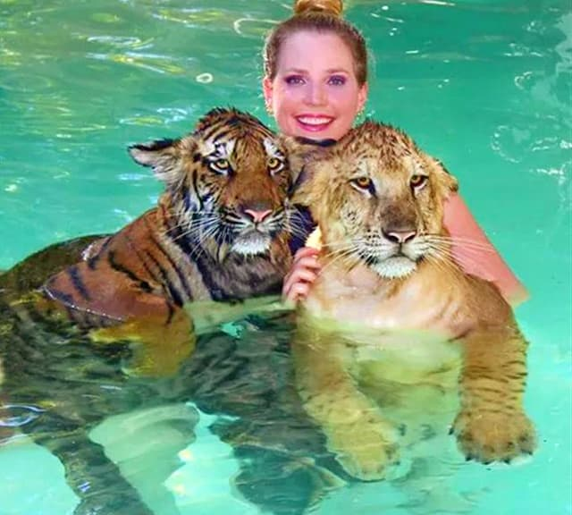 Liger cub and tiger cub swimming inside the water.