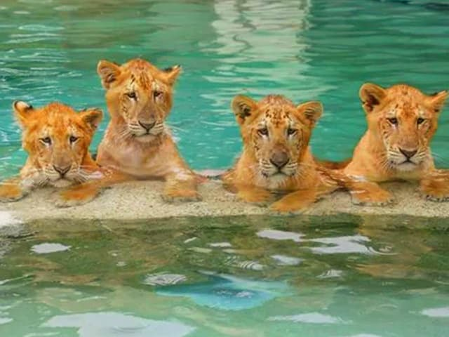 Liger cubs love swimming.