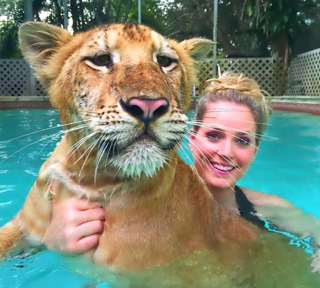 Swimming creates a great interaction in between the liger cubs and the animal trainers.