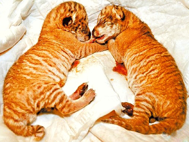 First liger cubs in Taiwan were born in 2010.