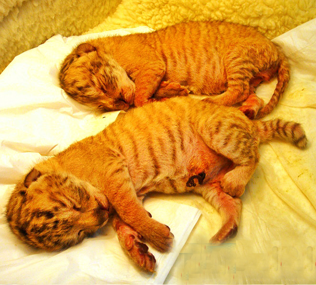 Breeding liger cubs in banned in Taiwan.