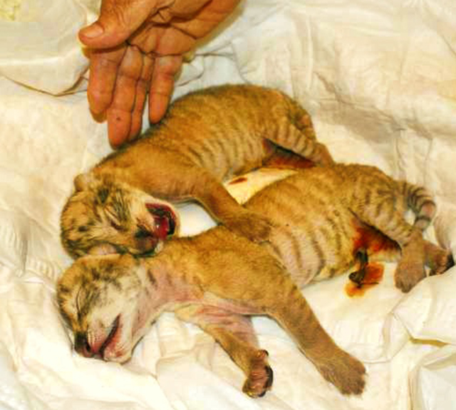 Liger cubs born in Taiwan were confiscated by the authorities