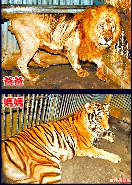 Living conditions of the parents of the first liger cubs were not satisfactory.