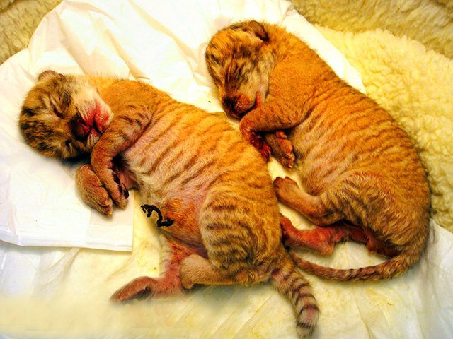 Owner faced fine penalty of 1500 US dollars for breeding liger cubs in Taiwan.