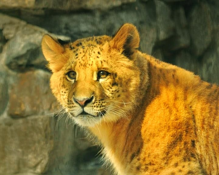The name of the Liliger cub was Kiara