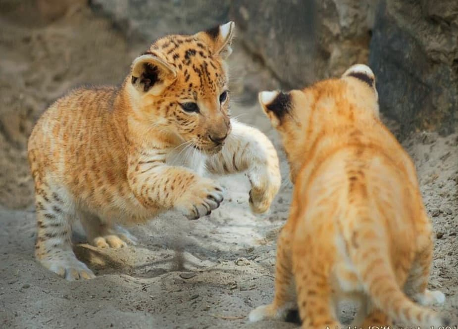 Liliger cubs in Russia