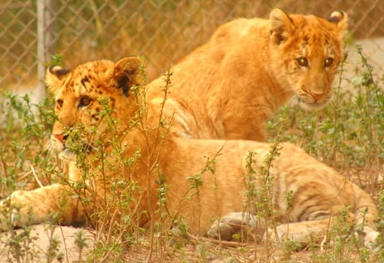 Liger cubs and lion cubs have their similarities and differences because of genetic differences.