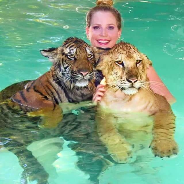 Liger Cubs And Tiger Both Love To Swim