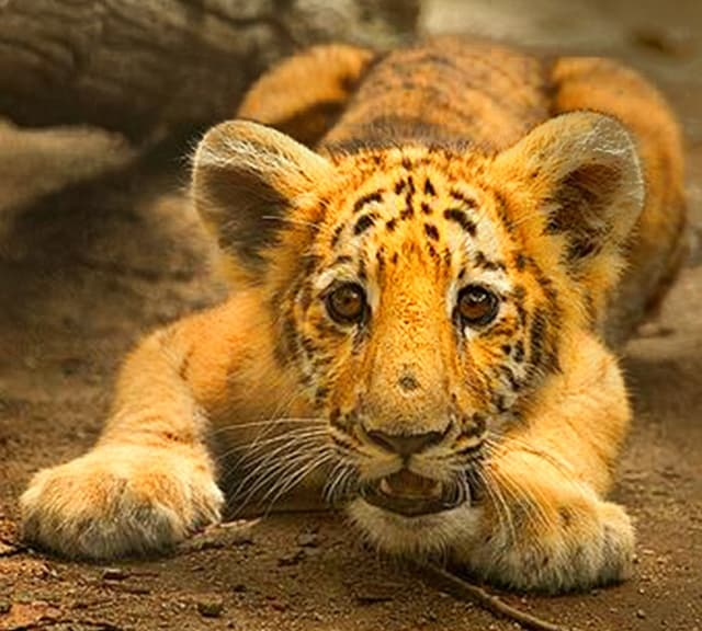 Tiliger Cub is an offspring of a male tiger and female liger (Ligress).