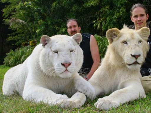 White Liger Cubs  White Liger Cubs